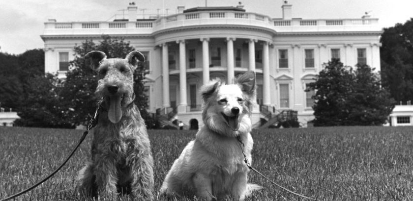 JFKWHP-KN-18294. Charlie, left, and Pushinka, right, 22 June 1961.
